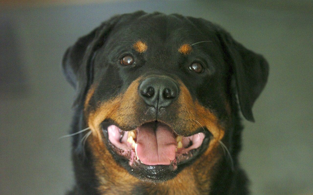 รอตไวเลอร์ (Rottweiler) เจ้ายักษ์ใหญ่จอมพลัง