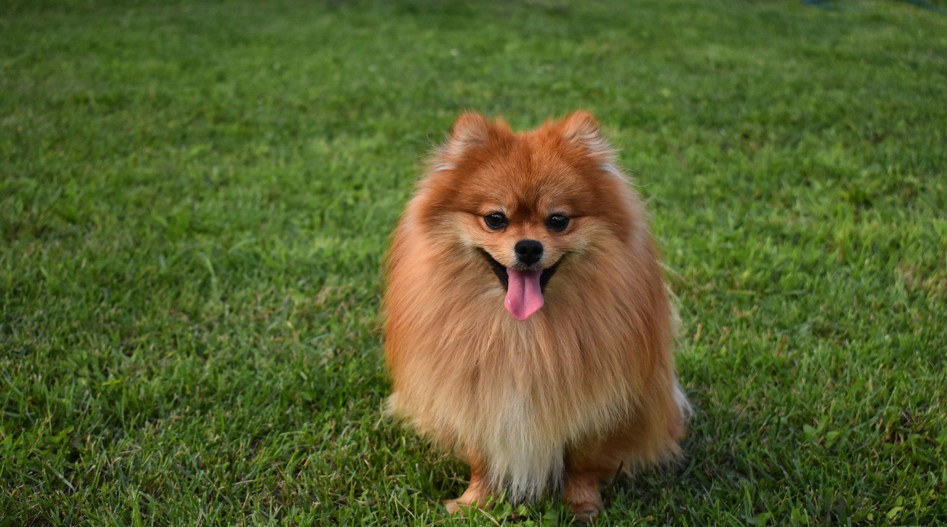 ปอมเมอราเนียน (Pomeranian)…เจ้าตัวเล็กตาหวานเยิ้ม