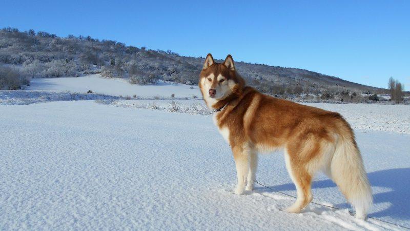 ไซบีเรียนฮัสกี (Siberian Husky) เจ้าชายแห่งป่าหิมะ