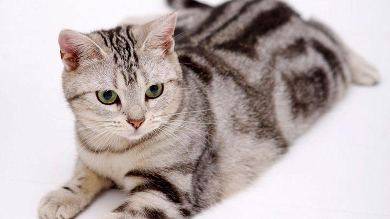 แมวพันธุ์อเมริกัน ช็อทแฮร์ (American shorthair)