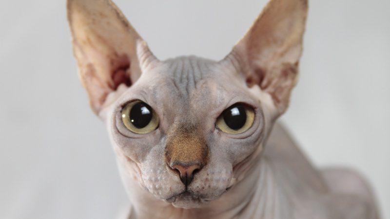 แมวพันธุ์สฟิงซ์ (Sphinx)