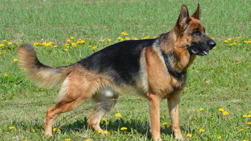 เยอรมัน เชพเพิร์ด (German Shepherd) สุนัขตำรวจแห่งเยอรมัน