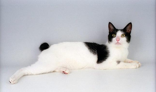 แมวพันธุ์เจแปนนิส บ็อบเทล (Japanese Bobtail)