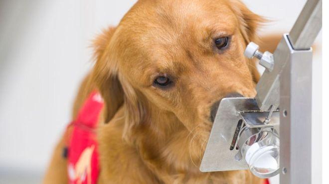 อังกฤษเริ่มการวิจัยเพื่อหาว่าสุนัขสามารถดมกลิ่นหาผู้ติดเชื้อไวรัสโคโรนาสายพันธุ์ใหม่ได้ไหม