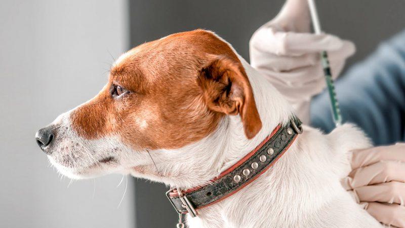 การฉีดวัคซีนในลูกสุนัข